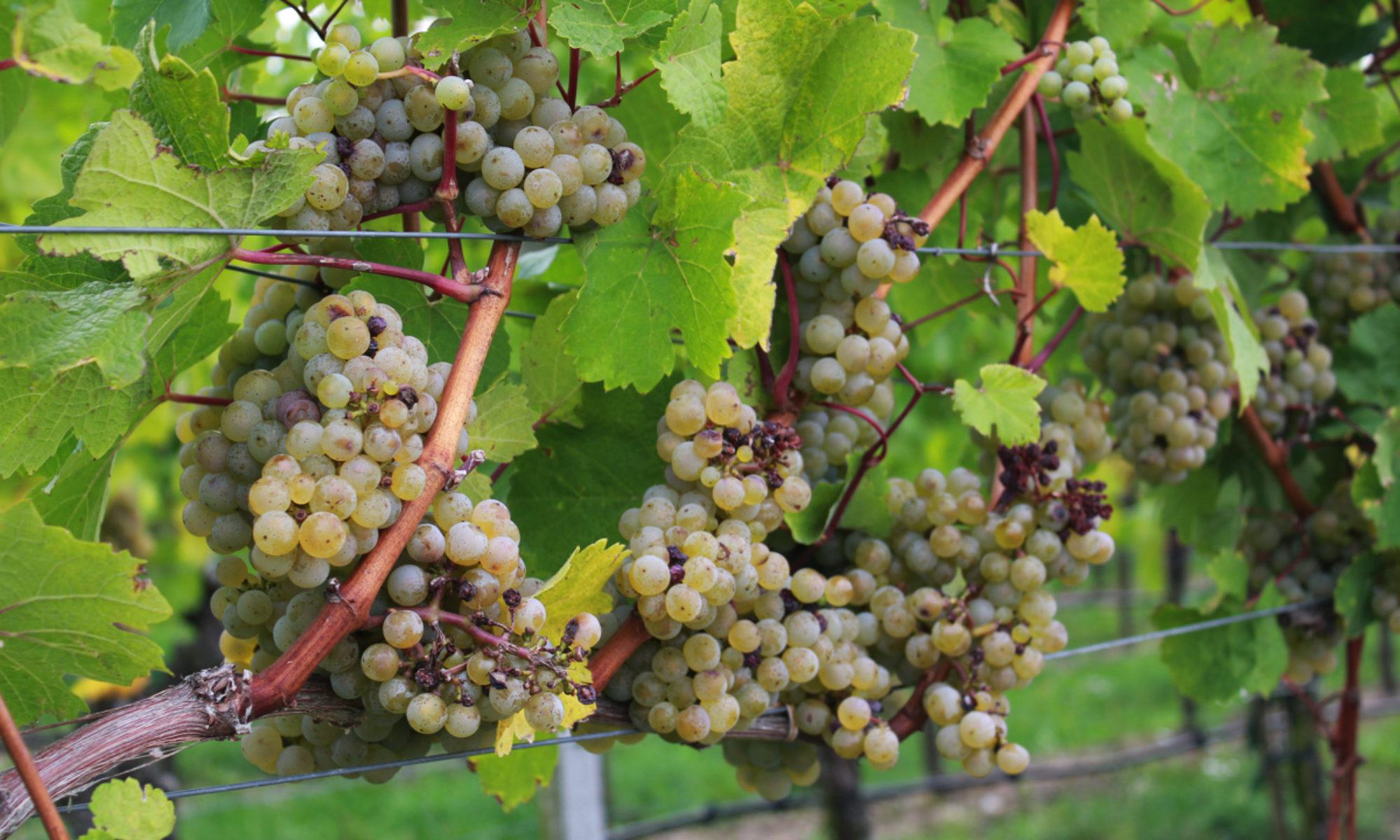 Hafencity-Wein